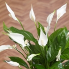 Peace Lily in Mini Crate