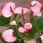 Pink Anthurium in Crate