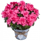Pink Azalea in Heart Pot