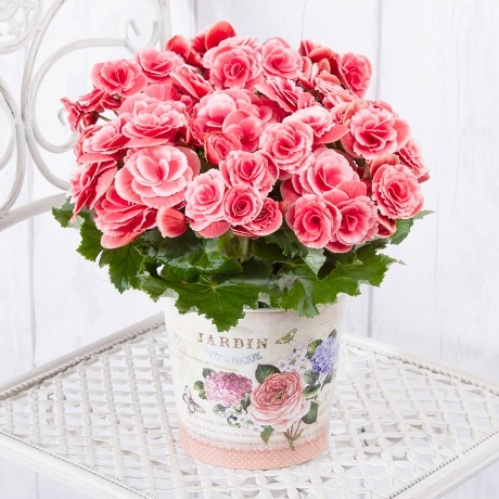 A beautiful pink Begonia house plant presented in a 'Jardin Botanique' vintage style zinc pot.<BR><BR>This charming flowering house plant will make a perfect long-lasting gift, suitable for any occasion.