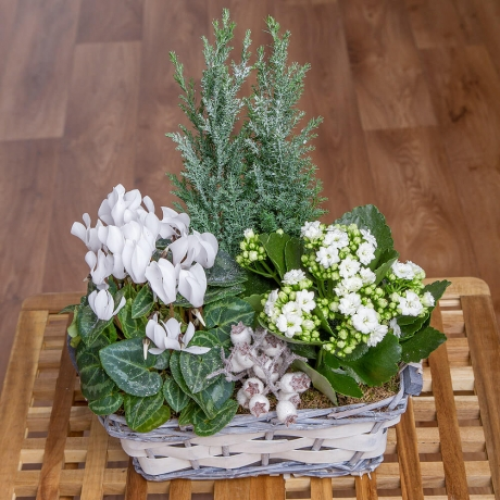 A festive basket featuring white Cyclamen, white Christmas Cactus, Conifer and white-green Fittonia.