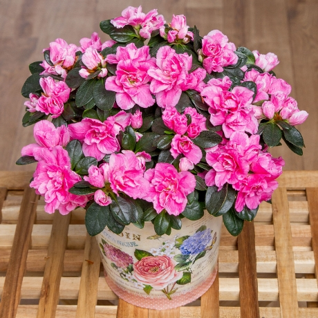 This wonderful pink Azalea plant is presented in an attractive vintage inspired zinc pot.<br /><br />  The Azalea plant is sent in bud meaning the recipient will have the joy of watching it bloom in the home.