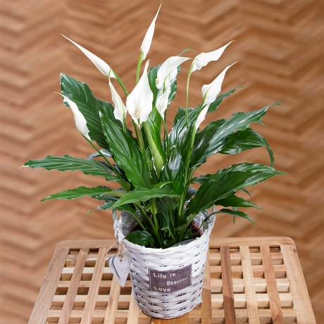 A lovely Peace Lily plant with white sail-like flowers and glossy green leaves. Delivered in a ceramic pot.