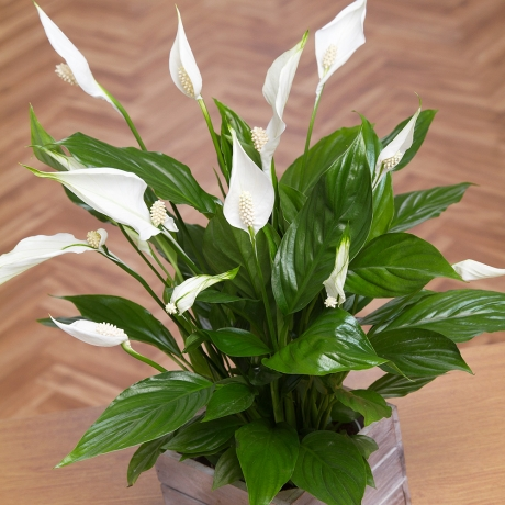 A beautiful Peace Lily plant with lovely white sail-like flowers, presented in a wooden mini crate.
