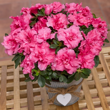 A cerise pink Azalea presented in a vintage zinc pot with a pretty heart decoration.