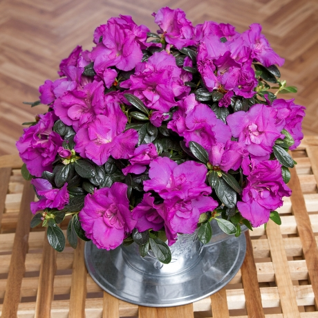 Presented in a zinc cup and saucer, this unique purple Azalea plant will make a great long-lasting gift.<br /><br />The Azalea plant is delivered in bud, meaning the recipient will have the joy of watching it bloom in the home.