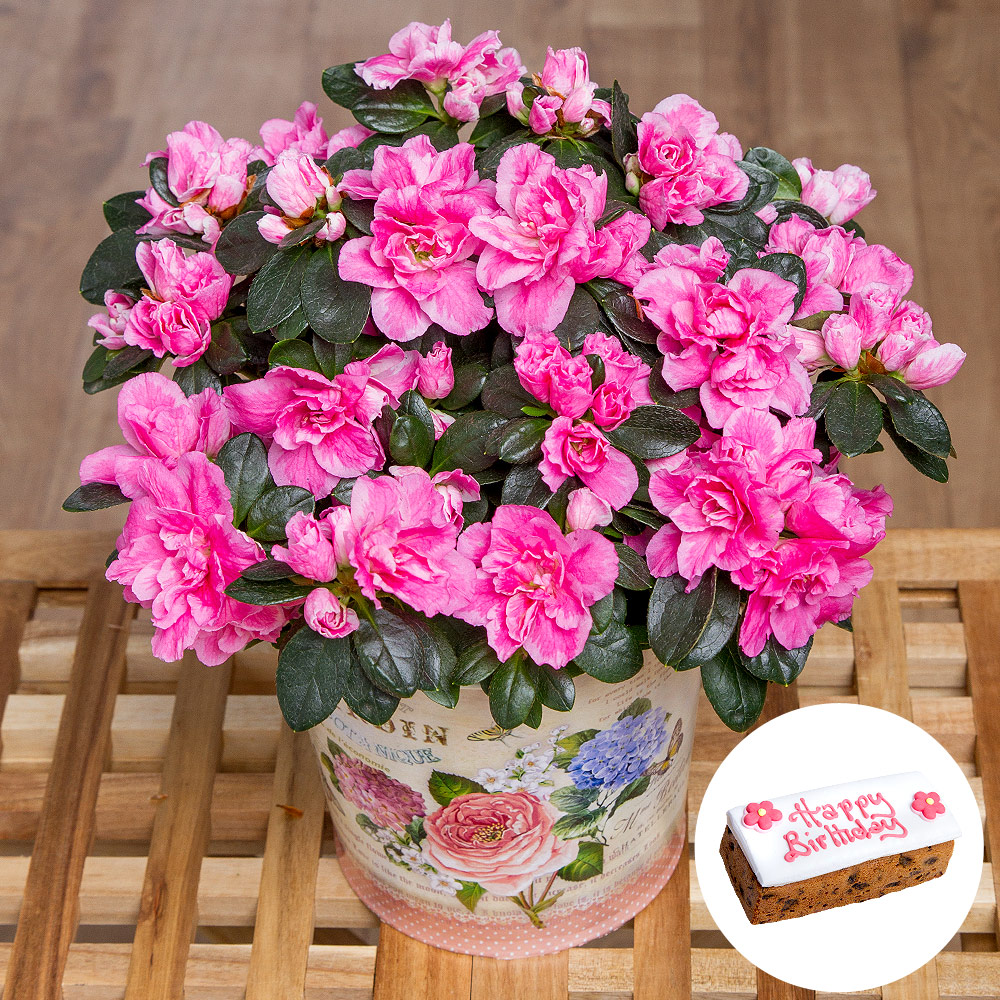 A wonderful cerise pink coloured Azalea plant presented in a vintage style zinc pot. Delivered in bud.<br /><br />Also includes an iced Happy Birthday fruit cake.<br /><br />Cake measures 13.5cm W x 5cm H x 6cm D.<br /><br />Suitable for vegetarians but contains nuts, egg, milk, wheat and gluten.