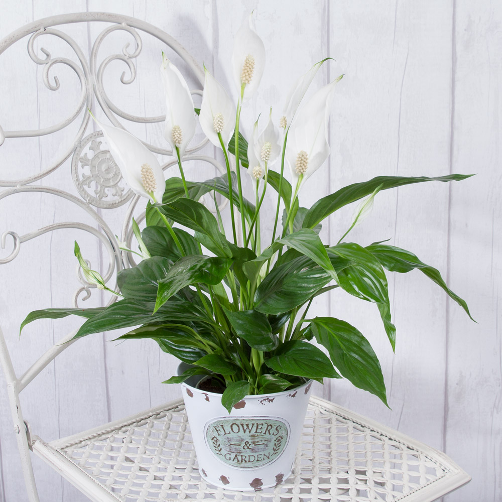 This beautiful Peace Lily house plant is presented in a Zinc pot and displays lovely white sail-like Lily flowers which stand out against glossy deep green leaves.<br /><br />This Peace Lily plant will add instant glamour to any room and will make a lovely gift.<br /><br />Spathiphyllum plants such as our Peace Lilies plants (also known as Spath) are known to help remove pollution from the air.