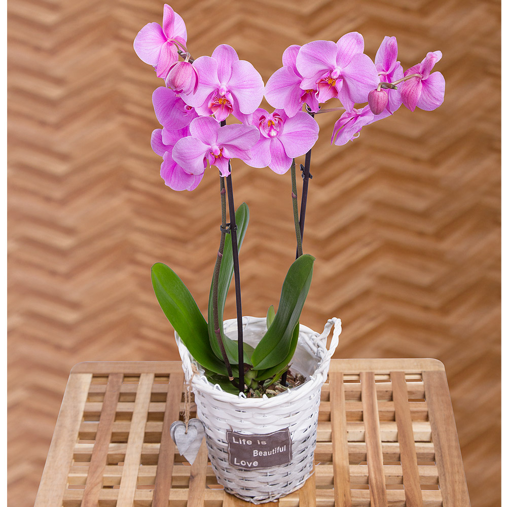 An elegant twin-stemmed Phalaenopsis orchid plant. This stylish plant, originating in South East Asia, displays multiple 'butterfly' flower heads.<br /><br />The Phalaenopsis Orchid makes an instant impact and is a great way for you to show a loved one you care on their special day.<br /><br />Delivered in a delightful white & grey basket with heart decoration.<br /><br />*Phalaenopsis Orchid Colours may vary according to supply.
