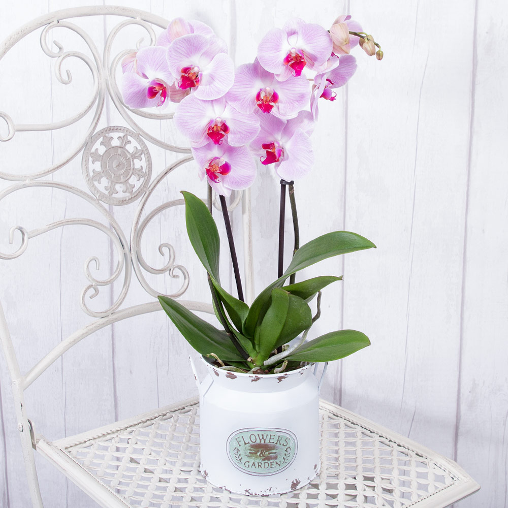 An elegant twin-stemmed Phalaenopsis orchid plant. This stylish plant, originating in South East Asia, displays multiple 'butterfly' flower heads.<br /><br />The Phalaenopsis Orchid makes an instant impact and is a great way for you to show a loved one you care on their special day.<br /><br />Delivered in a delightful vintage zinc pot.<br /><br />*Phalaenopsis Orchid Colours may vary according to supply.