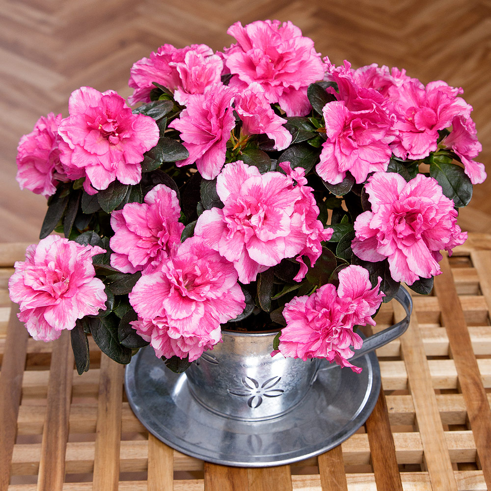 A pretty pink Azalea plant is displayed in a charming zinc cup and saucer, making it a perfect gift. <br /><br />The Azalea plant will arrive in bud, meaning the recipient will be able to watch it bloom in the home. Shade of pink may vary due to the season.