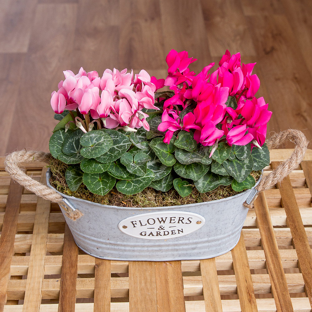 This beautifully understated flower planter features two pretty Cyclamen plants in contrasting colours of dark and light pink.<br /><br />Displayed in an attractive planter it makes a lovely gift for any occasion.