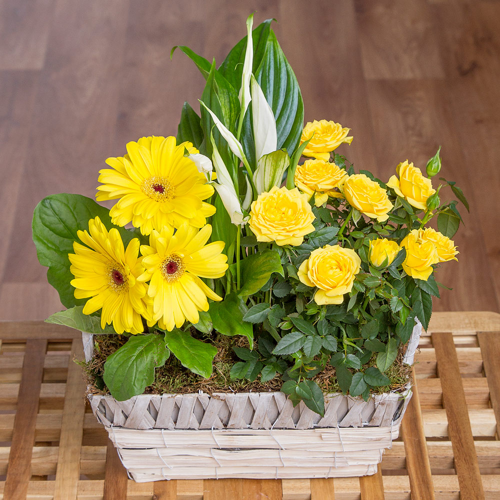 This delightful seasonal gift features mini white Peace Lily and Rose and Germini plants in sunny shades of yellow.<br /> <br />Presented in a charming white and grey basket, this wonderful display will make a special gift to send to a loved one.