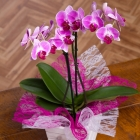 Orchid in Mini Crate