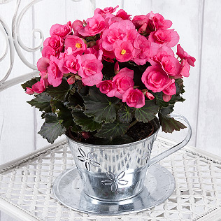 Begonia in Zinc Teacup