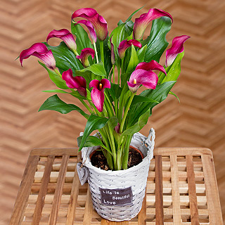 Calla Lily in Basket