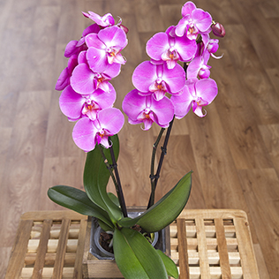 Phalaenopsis Orchid in Crate