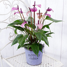 Purple Anthurium Plant