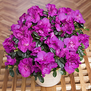 Purple Azalea in Zinc Pot