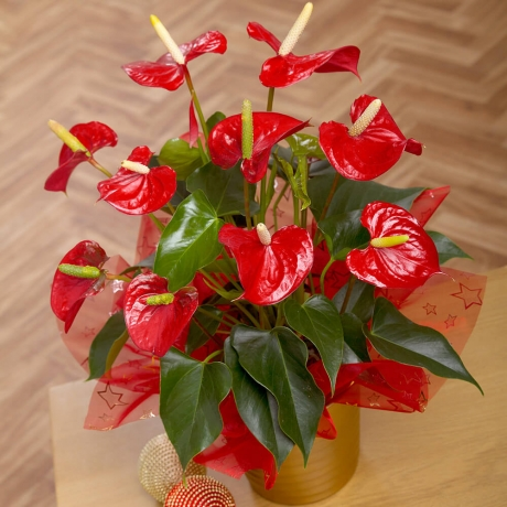 Bunches.co.uk, 488[^]XANTH Red Anthurium Plant XANTH