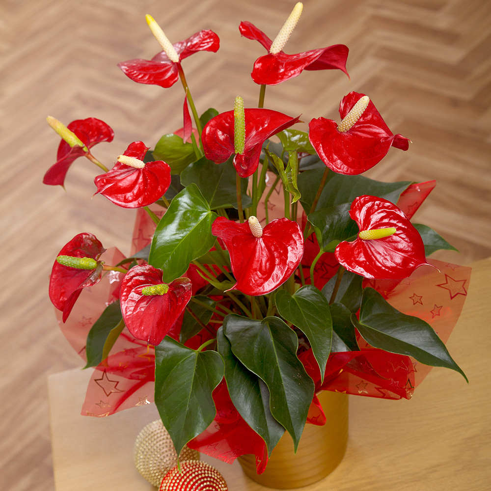PRODUCT_PLANTS_Christmas_Anthurium_Plant_image1